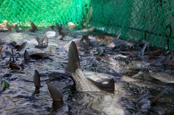 Zugnetzfischerei, Brassen